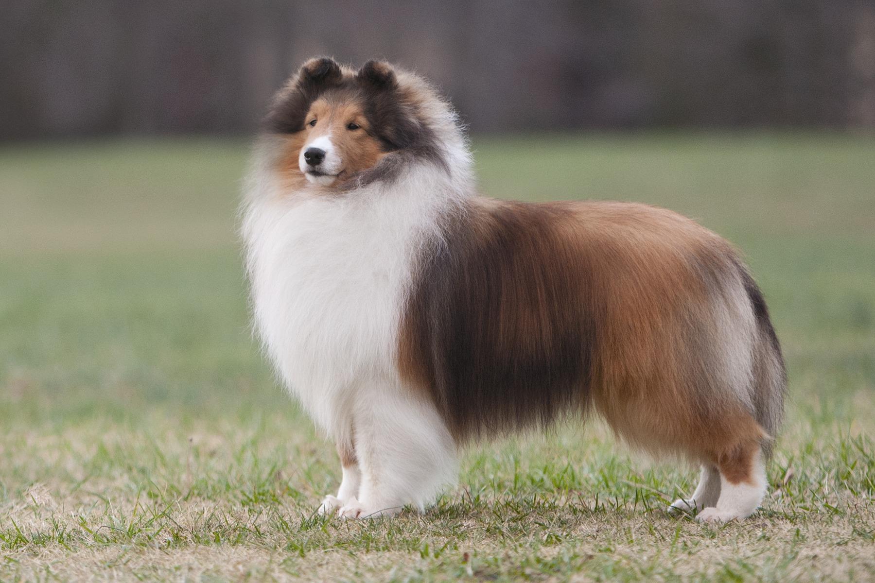 Double coated breeds petgroomer magazine nvjuhfo Images
