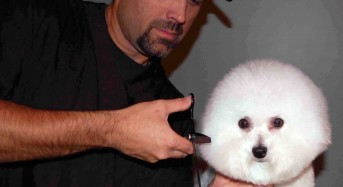 Styling the Bichon Frise Puppy