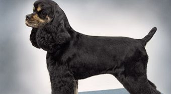 American Cocker Spaniel Suburban & Field Trims