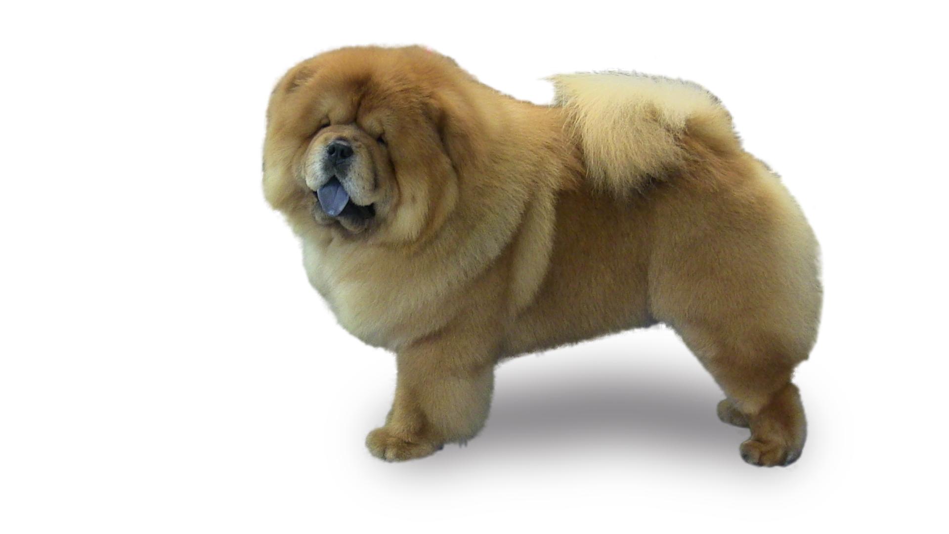 Insights on harder to groom dogs petgroomer magazine pawlosky chow white background solutioingenieria Images